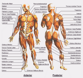 anatomy+tubuh