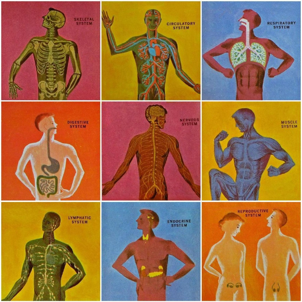 "The ""Nine Systems"" from the book ""The Human Body - What it is and how it works."" (1958) illustrated by Cornelius De Witt"